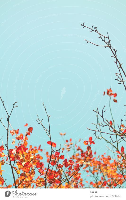 Sky Nature Beautiful Blue Red Plant Leaf Autumn Environment Air Gold Growth Transience Thin Twig Branchage