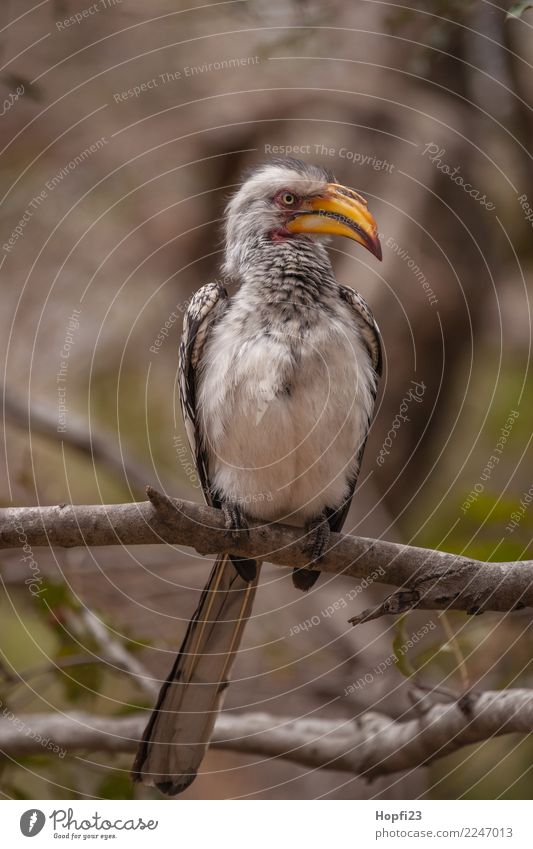 Southern Yellow-billed Hornbill Nature Animal Spring Tree Bird 1 Observe Looking Large Wild Gray Black White Africa South Africa Colour photo Multicoloured