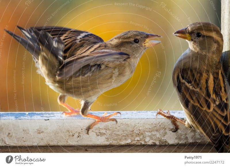 sparrows Animal Wild animal Bird Sparrow 2 Argument Aggression Authentic Brash Natural Anger Brown Emotions Moody Aggravation Grouchy Nature Colour photo