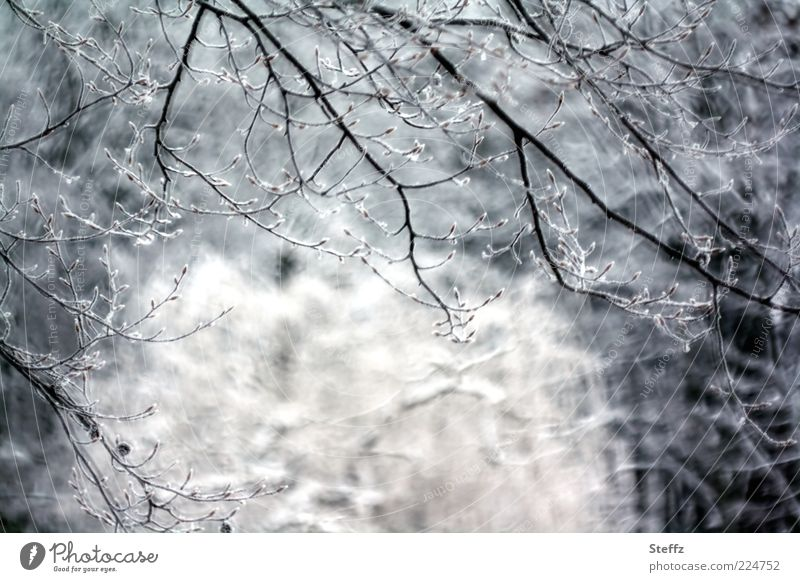 Nature Tree Calm Winter Forest Cold Snow Gray Ice Frost Frozen Freeze Twigs and branches December February January