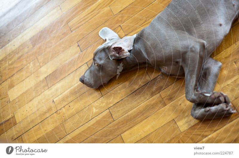 Dog life 2.0 Pet Wood Line Stripe To enjoy Lie Sleep Dream Sadness Living or residing Esthetic Authentic Simple Happy Beautiful Relaxation Ease Weimaraner Paw