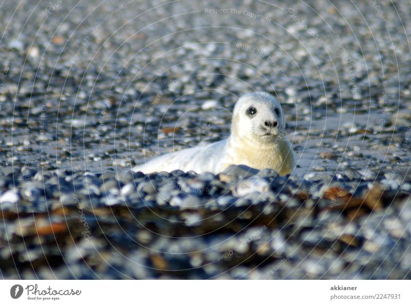 Young animal Environment Nature Animal Elements Earth Winter Coast Beach North Sea Island Wild animal Animal face Pelt 1 Free Wet Natural Soft Gray White