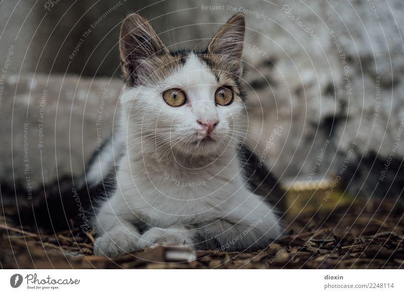 Cat Animal Small Lie Cute Observe Curiosity Pet Cuddly