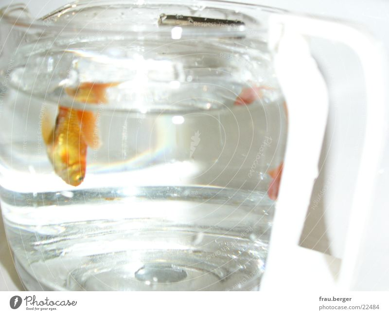 goldfish in a coffee pot Goldfish Jug Light Water Coffee Freedom Swimming & Bathing