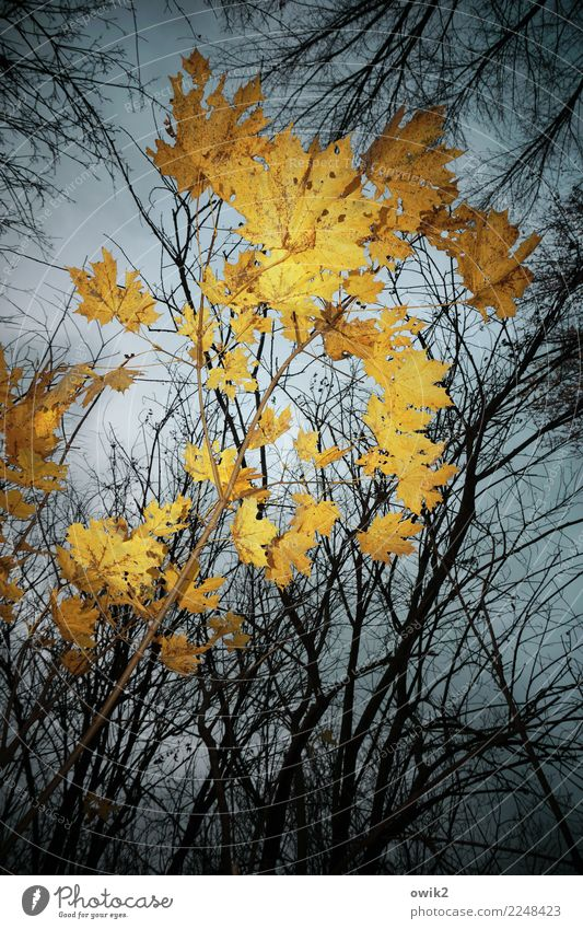 yellowed Environment Nature Plant Sky Clouds Autumn Beautiful weather Tree Leaf Maple tree Maple leaf Twigs and branches Forest Illuminate Yellow Orange