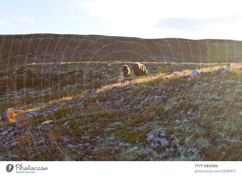 Musk ox - too close! Adventure Environment Nature Landscape Animal Sunlight Moss Hill Dovrefjell-Sunndalsfjella National Park Wild animal Cow Pelt 2