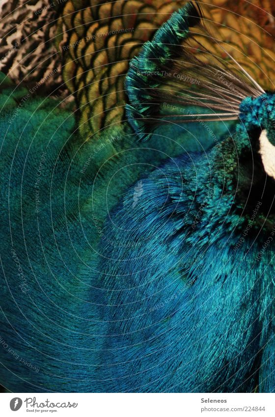 Nature Animal Environment Head Bird Glittering Esthetic Feather Soft Zoo Noble Peacock Plumed Love of animals Petting zoo Peacock feather