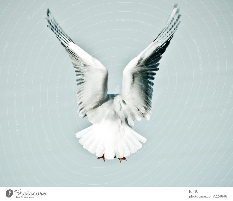 freedom Elegant Vacation & Travel Nature Air Sky Wind Animal Bird 1 Observe White Disciplined Movement Flying Judder Wing Rear view Metal coil Copy Space left
