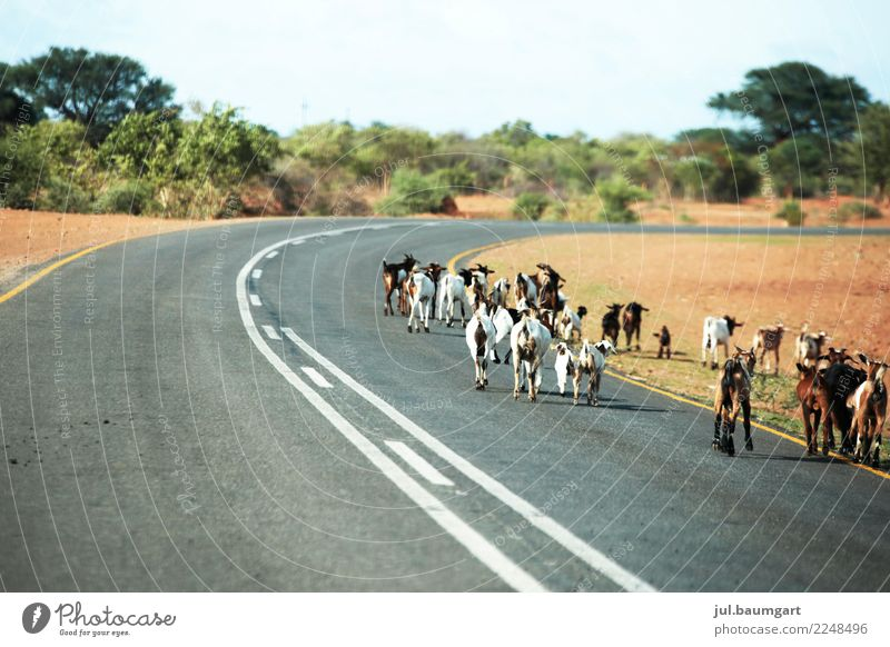 Full Road of Namibia Nature Landscape Street Animal Farm animal Group of animals Herd Adventure Leisure and hobbies Happy Hope Contentment Goats Colour photo