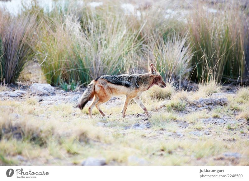 Coyote not ugly Lifestyle Vacation & Travel Adventure Far-off places Freedom Safari Expedition Summer Animal Wild animal 1 Walking Exceptional Colour photo