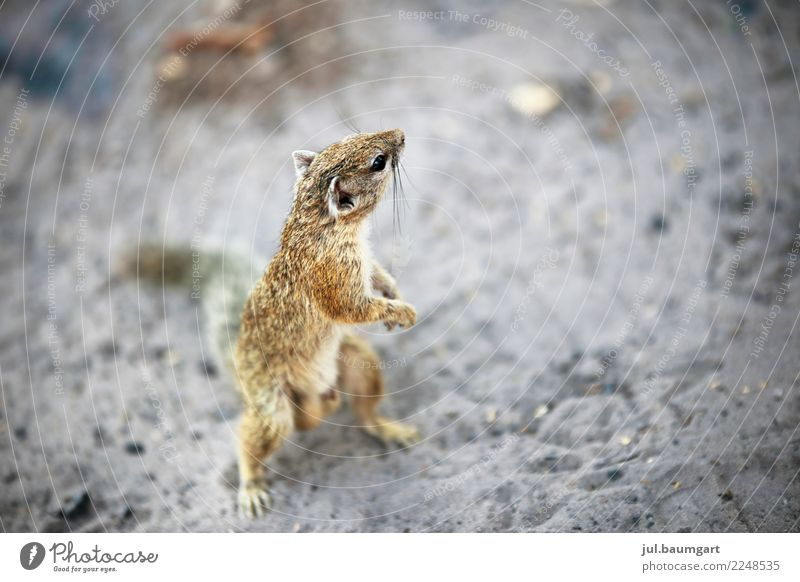Croissants quite cheeky Nature Summer Animal Wild animal Squirrel 1 Contentment Colour photo Exterior shot Morning Blur Bird's-eye view Full-length