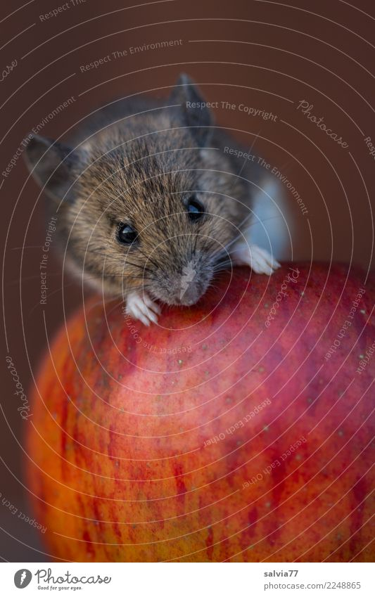 Nature Red Animal Autumn Healthy Love Brown Above Fruit Fresh Sweet Cute Delicious Candy Apple Mouse
