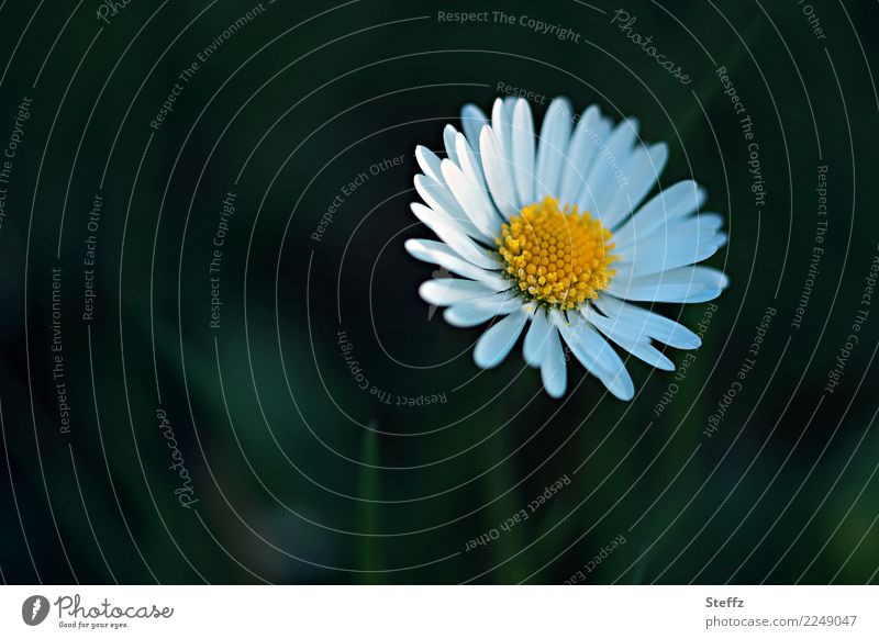 you´re my sunshine Valentine's Day Mother's Day Birthday Nature Plant Spring Summer Flower Blossom Wild plant Daisy Blossom leave Garden Meadow Blossoming