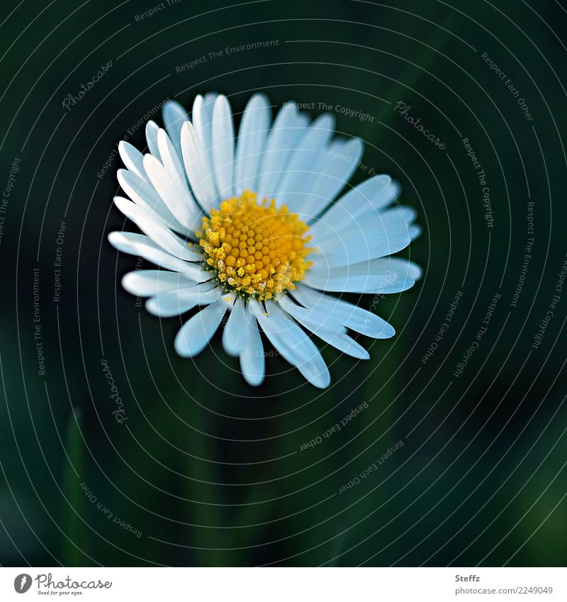Beyond the mainstream, inconspicuous. Mother's Day Birthday Nature Plant Spring Summer Flower Blossom Wild plant Daisy Blossom leave Spring flower Garden Meadow