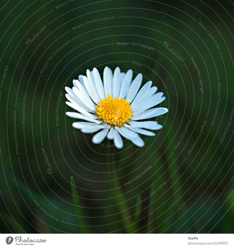 Nature Plant Summer Beautiful Green White Flower Yellow Blossom Spring Meadow Natural Garden Copy Space Blossoming Simple