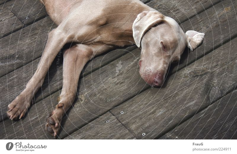 sleeping guest Relaxation Short-haired Dog Wood Lie Elegant Muscular Dream Fatigue Colour photo Exterior shot Day Sleep Break Restful Contentment Ear