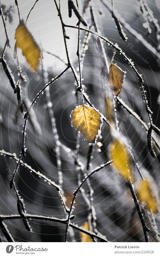 shapes behind the ice Nature Plant Winter Weather Bad weather Ice Frost Leaf Discover Freeze Hang Illuminate Growth Fresh Beautiful Moody Birch tree