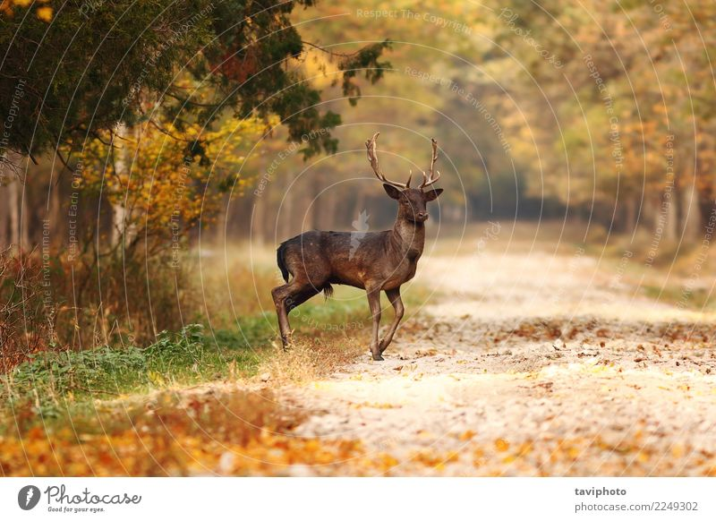 beautiful fallow deer stag in autumn woods Nature Man Beautiful Landscape Tree Animal Forest Street Adults Autumn Lanes & trails Natural Playing Brown Wild Park