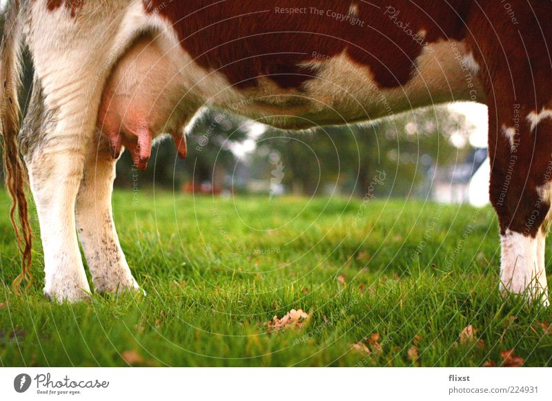 chilly Landscape Beautiful weather Grass Farm animal Cow 1 Animal Relaxation Stand Udder Agriculture Colour photo Exterior shot Copy Space bottom Day