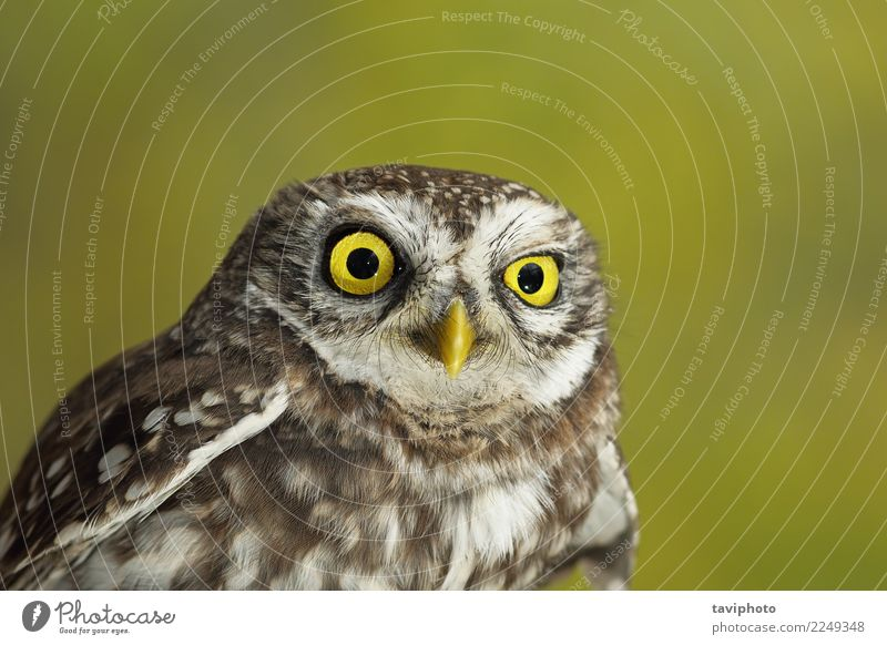portrait of cute little owl Beautiful Face Nature Animal Bird Small Funny Natural Cute Wild Brown Yellow Green Wisdom Colour Owl background wildlife eye
