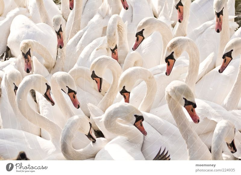 Swans in Krakow Environment Nature Animal Wild animal Wing Group of animals Herd Flock Communicate Esthetic Bright Cuddly Funny Wet Many White Colour photo