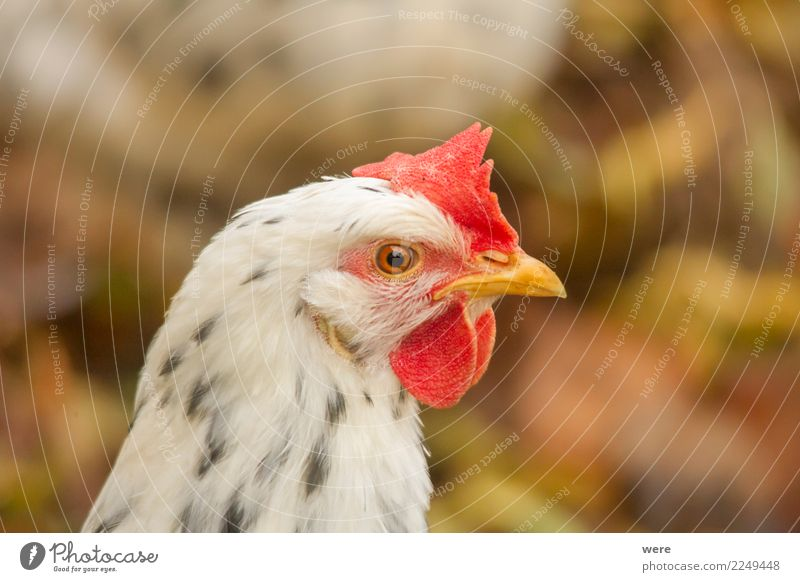 Portrait of a chicken in side view Agriculture Forestry Nature Animal Pet Farm animal Bird Barn fowl 1 Observe Looking Aggression Natural Egg excchequer