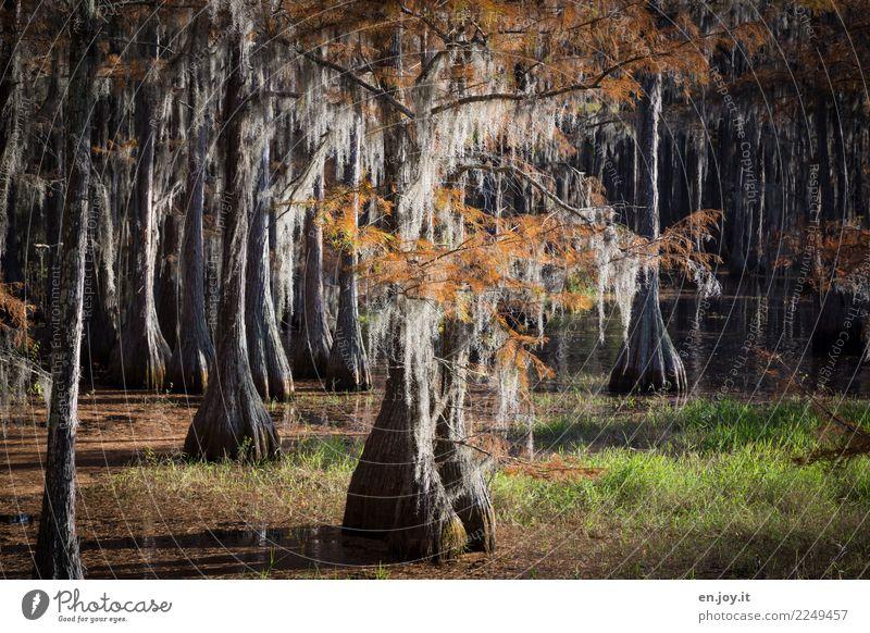 wetland Vacation & Travel Trip Adventure Nature Landscape Plant Autumn Tree water cypresses Grass Bog Marsh Lake Bizarre Loneliness Florida USA Cypress Water