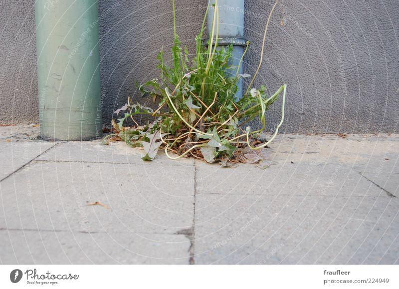 Nature Green Plant Leaf Gray Grass Environment Blossom Growth Sidewalk Stalk Pipe Dandelion Seam Foliage plant Paving tiles