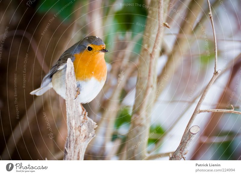 Nature Beautiful Plant Winter Animal Environment Bird Wild animal Branch Cute Observe Twig Crouch Branchage Robin redbreast