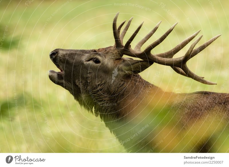 Beautiful stag with great antlers on green meadow Vacation & Travel Environment Nature Plant Animal Park Meadow Forest Wild animal 1 Love Free Brown Yellow