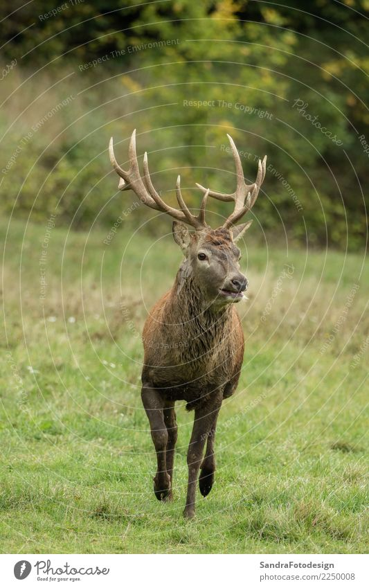 Beautiful stag with great antlers on green meadow Environment Nature Plant Animal Beautiful weather Park Meadow Wild animal Zoo 1 Love Authentic Near Natural