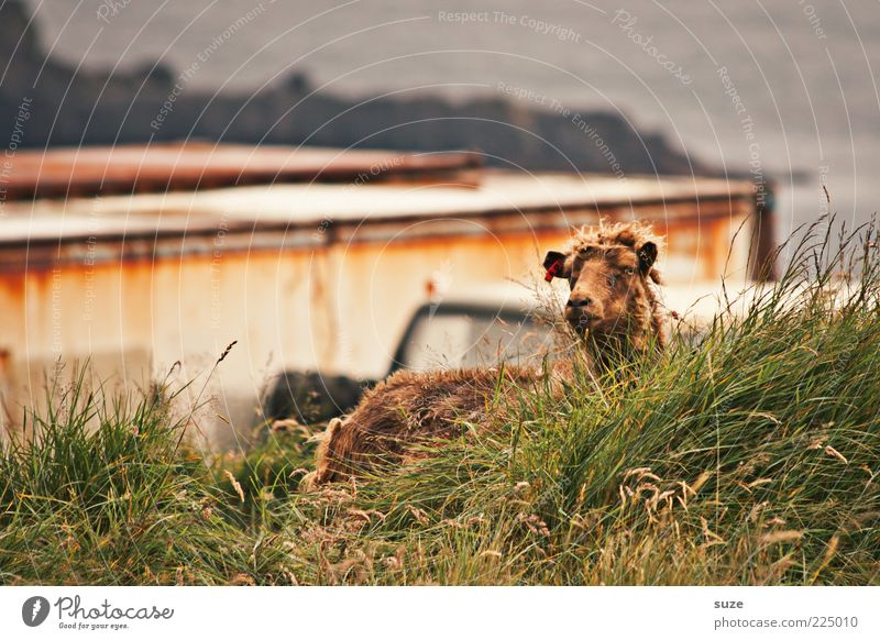 Sheep in the grass Nature Landscape Animal Weather Grass Coast Farm animal Animal face 1 Authentic Natural Curiosity Cute Wild Brown Green Føroyar Wool