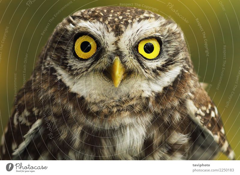 close up of little owl eyes Beautiful Youth (Young adults) Nature Animal Bird Small Natural Cute Wild Brown Yellow Owl predator wildlife Living thing raptor