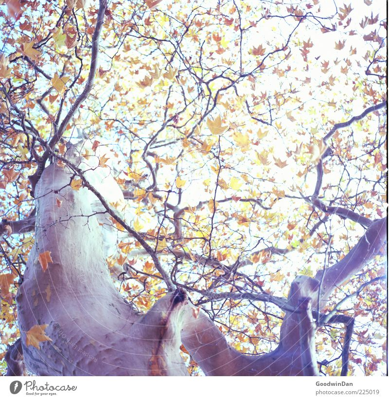 Nature Old Beautiful Tree Plant Leaf Autumn Environment Large Natural Authentic Near Tree trunk Treetop Sharp-edged Tree bark