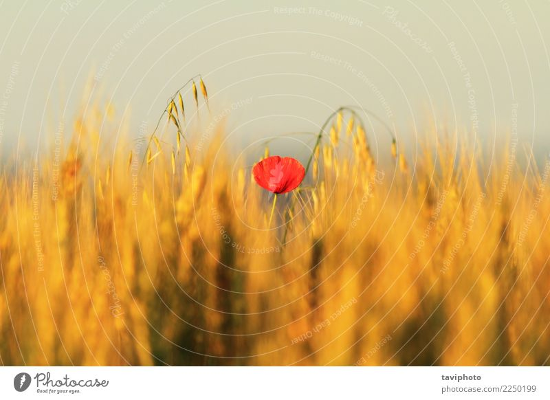 single red poppy in wheat field Beautiful Summer Nature Landscape Plant Flower Blossom Meadow Bright Natural Wild Red Colour Poppy Wheat Rural agriculture