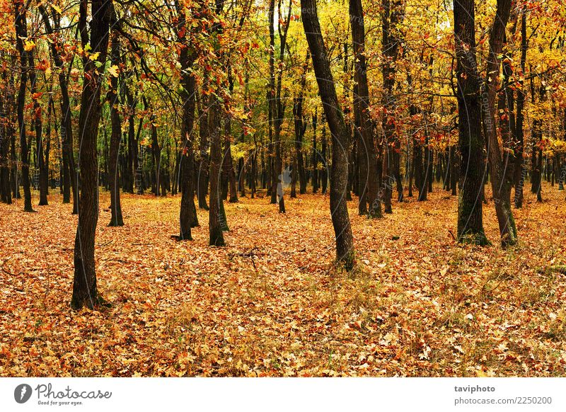 young forest in autumn Beautiful Environment Nature Landscape Autumn Tree Leaf Park Forest Natural Yellow Gold Colour fall Seasons colorful orange light wood