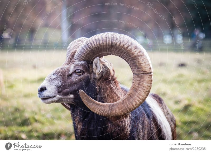 Nature Relaxation Animal Brown Wild animal Power Stand Threat Brave Mammal Hunting Animal face Antlers Landscape format Game park European Mouflon