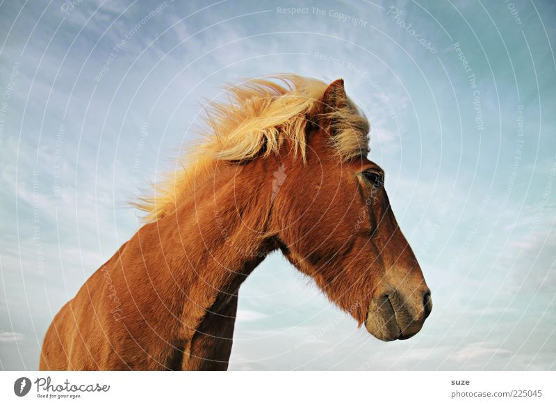 look back Animal Sky Clouds Wind Farm animal Wild animal Horse Animal face 1 Stand Wait Esthetic Friendliness Natural Cute Beautiful Brown Mane Iceland Pony