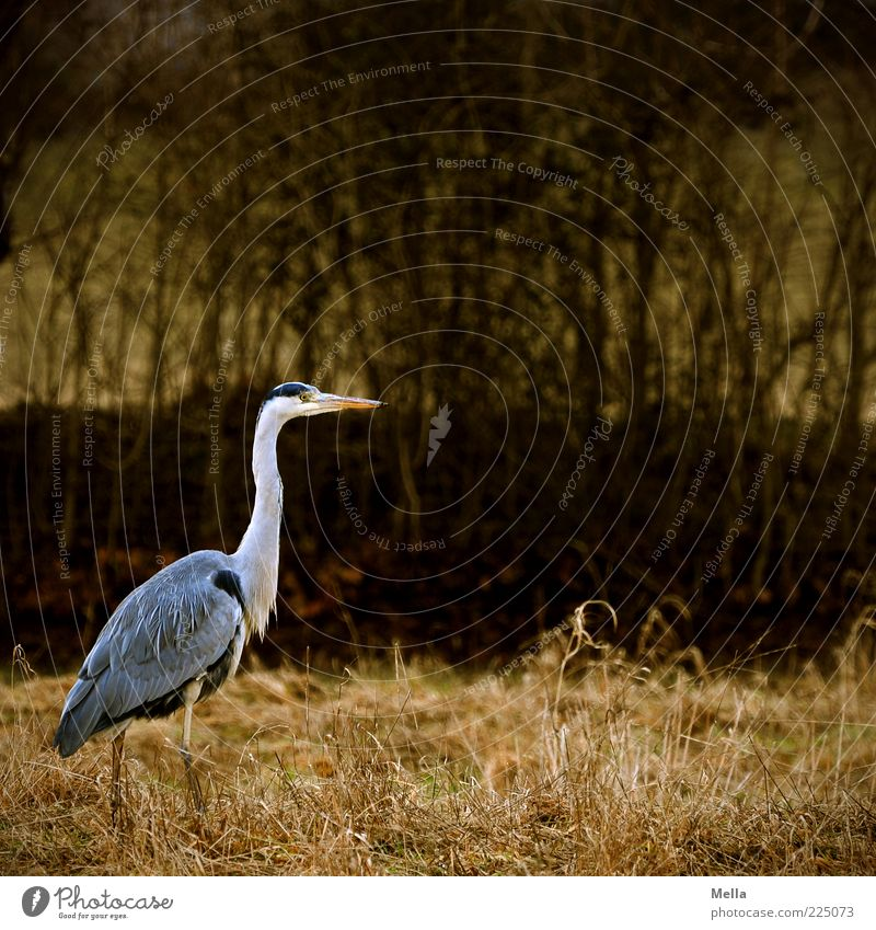 herringbone Environment Nature Animal Grass Bushes Bird Heron Grey heron 1 Going Stand Free Natural Brown Gray Moody Patient Calm Freedom Stride Colour photo