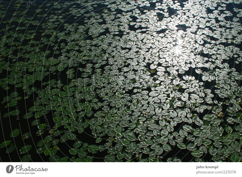 The Companions Water Water lily Water lily pond Green Black Reflection Leaf Many Aquatic plant Colour photo Exterior shot Deserted Sunlight Maximum