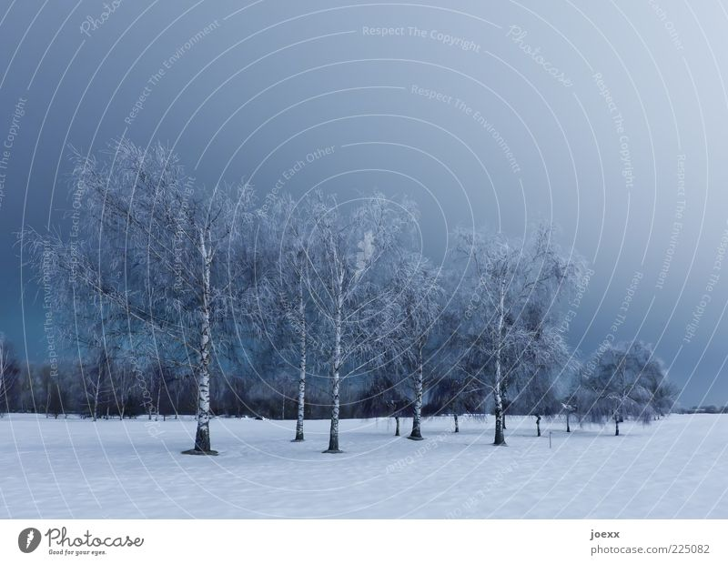 birches Nature Landscape Sky Winter Ice Frost Snow Tree Park Large Blue White Calm Cold Birch tree Clump of trees Colour photo Subdued colour Exterior shot