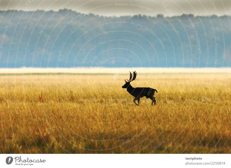 fallow deer buck in morning light Beautiful Playing Hunting Man Adults Environment Nature Landscape Animal Autumn Fog Forest Large Natural Wild Brown Colour