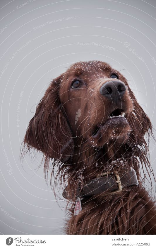 Treat? Animal Pet Dog 1 Brown Gray Irish setter Dog's head Watchfulness Animal face Snow Snowfall Winter Colour photo Multicoloured Exterior shot Detail