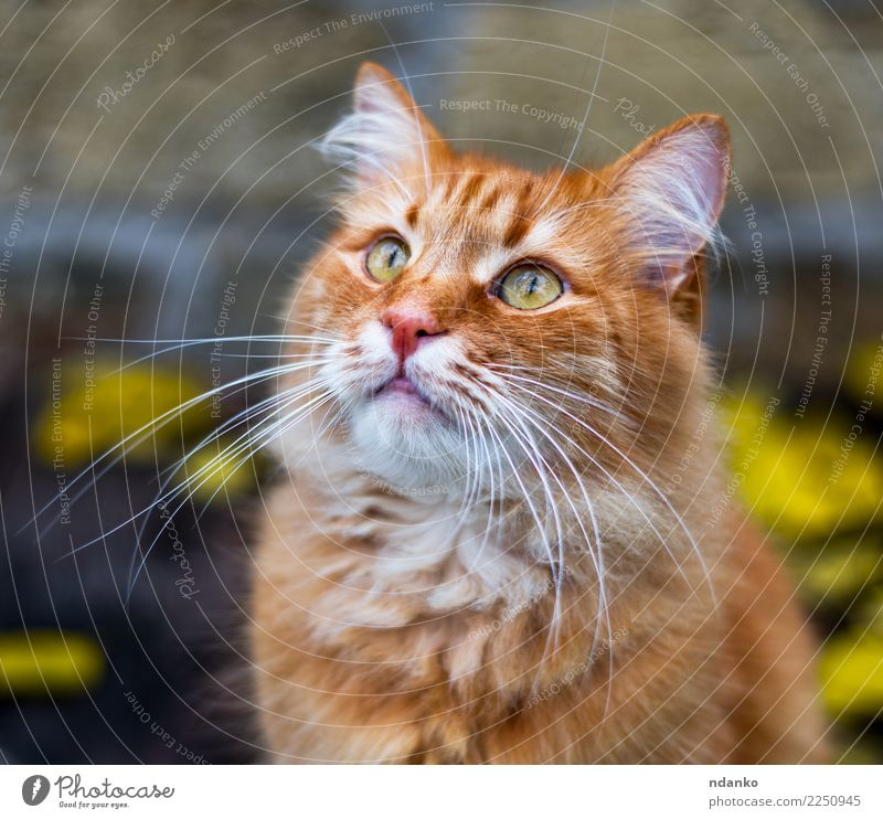 portrait of a fluffy red cat Beautiful Animal Pet Cat 1 Cute Yellow Red orange background Domestic tabby one Delightful hair young Colour photo Exterior shot