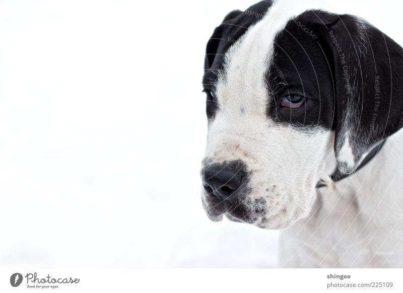 White Calm Black Animal Eyes Dog Sadness Wait Sit Animal face Cute Observe Curiosity Serene Watchfulness Pet