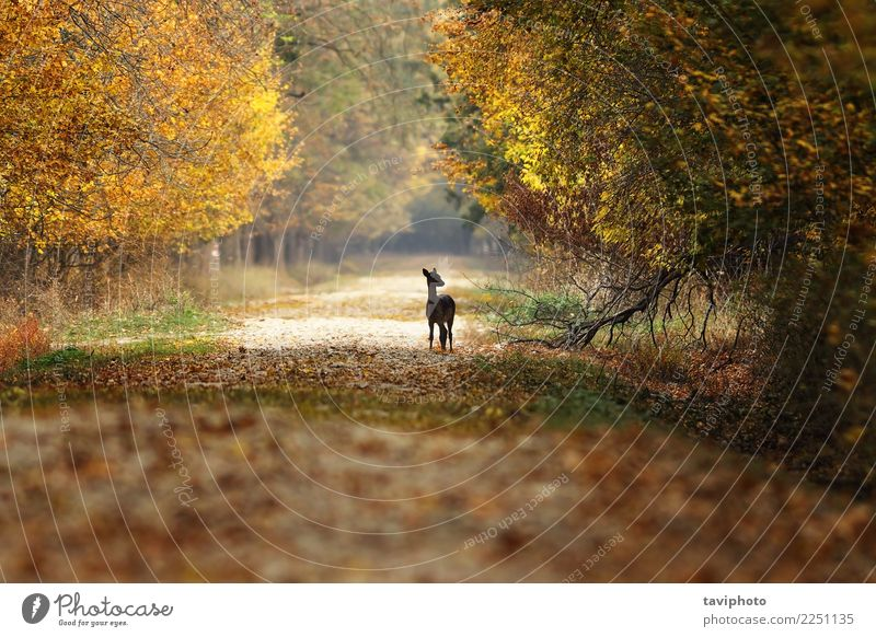 fallow deer fawn standing on rural road Woman Nature Beautiful Landscape Tree Animal Forest Street Adults Yellow Autumn Lanes & trails Natural Playing Brown