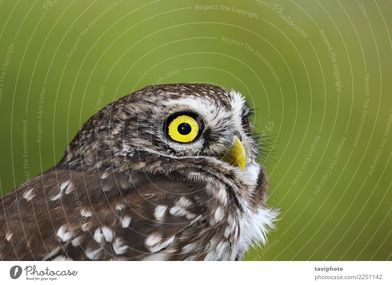 portrait of beautiful Athene noctua Beautiful Face Adults Nature Landscape Animal Bird Small Natural Cute Wild Brown Yellow Green Colour athene Owl wildlife
