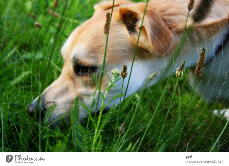 Dog in the grass, looking for something? Nature Elements Summer Grass Meadow Pet 1 Animal Colour photo Exterior shot Day Odor Head Nose Dog's snout