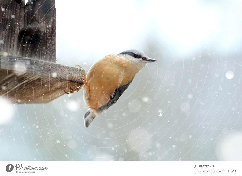 i'm hungry... Garden Nature Animal Winter Snow Snowfall Wild animal Bird Eurasian nuthatch Passerine bird Songbirds 1 Observe Freeze Looking Small Beautiful