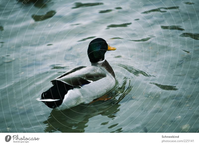 duck Environment Nature Elements Water Lake Animal Wild animal 1 Duck Beak Feather Waves Beautiful Plumed Float in the water Colour photo Exterior shot Deserted